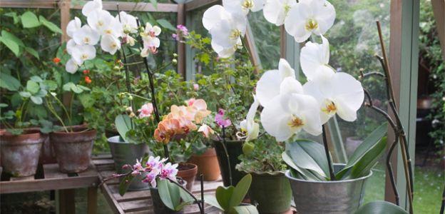die beste pflege um orchideen wieder zum bl hen zu bringen. Black Bedroom Furniture Sets. Home Design Ideas