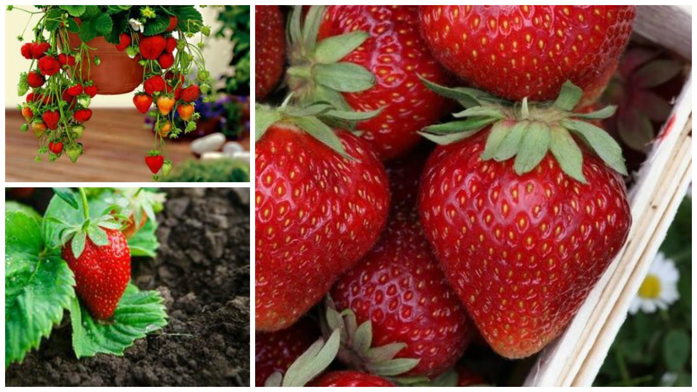 erdbeeren anpflanzen erdbeeren pflanzen youtube. Black Bedroom Furniture Sets. Home Design Ideas